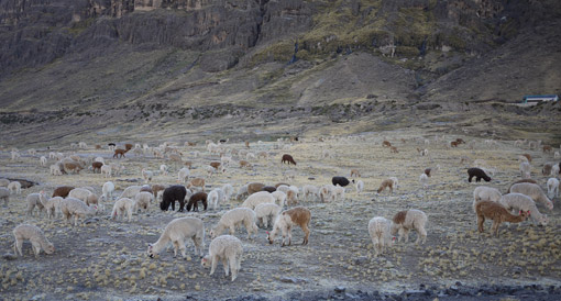 Alpagas et Lamas